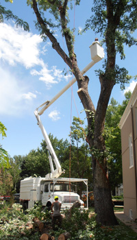 Tree removal picture using bucket truck